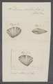 Donax denticulata - - Print - Iconographia Zoologica - Special Collections University of Amsterdam - UBAINV0274 078 11 0015.tif