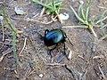 Dor beetle (Geotrupes stercorarius) - geograph.org.uk - 1240690.jpg