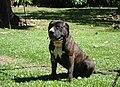 Drako American Staffordshire Terrier.jpg