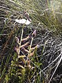 Drosera cistiflora Hangklip 05.jpg