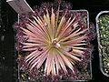 Drosera lanata 2 Darwiniana.jpg