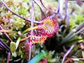 Drosera rotundifolia (Droseraceae) (Round-leaved Sundew), Cessières, France.jpg