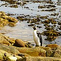 Drying wings King Penguin Falkland Islands.jpg