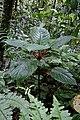 Drymonia urceolata (Gesneriaceae) (30007270842).jpg