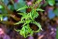 Dryopteris marginalis 5zz.jpg