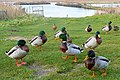 Ducks at Southwold - geograph.org.uk - 1104129.jpg