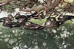 Ducks of Zama 101 130703-A-VH820-246.jpg