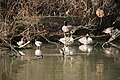 Ducks with the geese - geograph.org.uk - 1189287.jpg