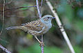 Dunnock in Hedgerow (11551126864).jpg