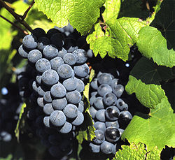 Vintillverkning av druvor