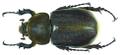 Dynastes hercules lichyi (Lachaume, 1985) female (8538216877).png