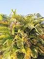 Dypsis lutescens (Arecaceae) 01.jpg