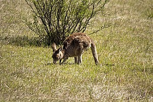 "Tripod stance - Kangaroos use ""pentapedal locomotion"" while grazing. In this gait, the tail and the forelimbs form a tripod while the hind legs are being moved."