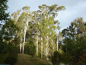 Eastwoodhill Arboretum - Eucalyptus growing near the entrance of Eastwoodhill Arboretum.