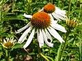 Echinacea 2 (Poltava Botanical garden).jpg