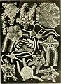 Echinodermata Ophiuroidea (1922) (20515089374).jpg