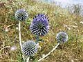 Echinops ritro subsp. ruthenicus sl12.jpg