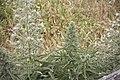 Echium italicum-3428.jpg