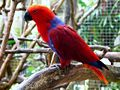 Eclectus roratus -female side2.jpg
