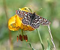 Edith's Checkerspot on Columbia Lilly.jpg