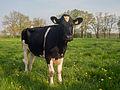Een zwart bonte koe.jpg