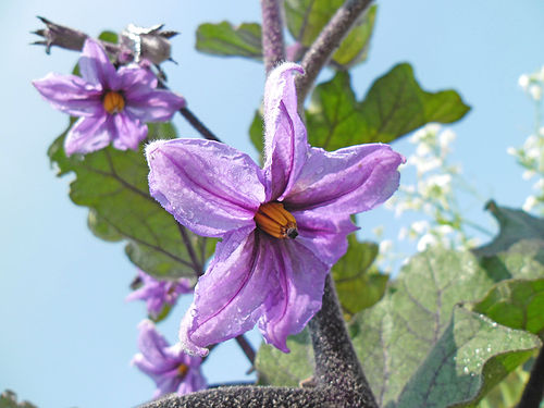 Closeup of an eggplant flower of a long-fruited Chinese variety in Hong Kong. - Eggplant