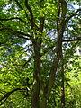 Eiche am Brüler Berg (Hoch-Weisel) 06.JPG