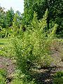 Elaeagnus umbellata - Savill Garden - Windsor Great Park, England - DSC06258.jpg