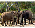 Elephants by N A Nazeer.jpg