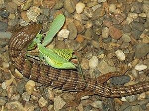 Elgaria - Elgaria multicarinata eating a mantis