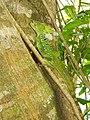 Emerald Basilisk (Basiliscus plumifrons) (9354548768).jpg