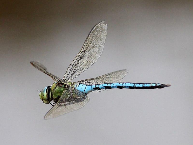 Bộ sưu tập Côn trùng 800px-Emperor-Dragonfly-%288%29