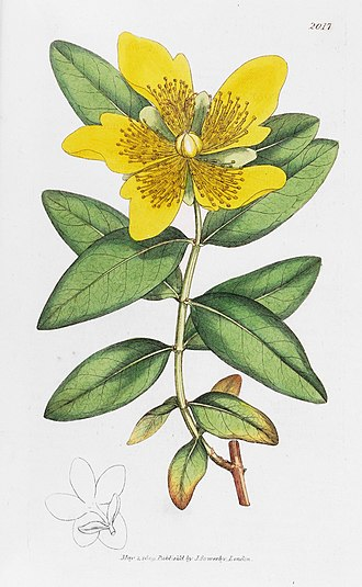 English Botany - Image: English Botany James Sowerby Plate 2017 HYPERICUM calycinum Long flowered st Johns wort
