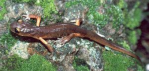 Ensatina - E. eschscholtzii eschscholtzi, the Monterey ensatina