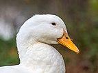Ente weiß Portrait 250902.jpg