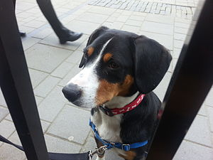 Entlebucher Mountain Dog - Entlebucher puppy at eleven months of age.