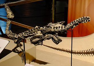 Eoraptor - Holotype specimen