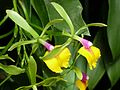 Epicattleya Rene Marques 'Flame Thrower' - Flickr - treegrow.jpg