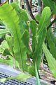Epiphyllum hookeri pm.jpg