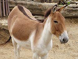 Equus kiang holdereri02.jpg