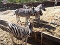 Equus quagga antiquorum at Selwo Adventure Park.jpg