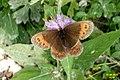 Erebia sp. (24060860453).jpg