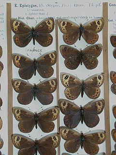 <i>Erebia epistygne</i> species of insect