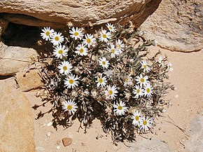 Description de l'image Erigeron maguirei.jpg.