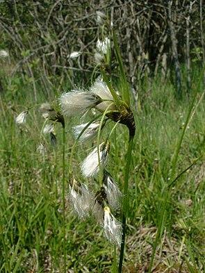 Breitblättriges Wollgras (Eriophorum latifolium).
