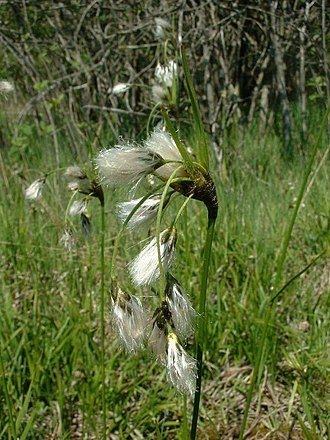 Cyperaceae - Broad-leaved cotton-grass (Eriophorum latifolium)