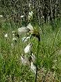 Eriophorum latifolium1.jpg