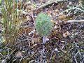 Eriospermum paradoxum - Ashton South Africa 2.jpg