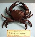 Eriphia verrucosa - Museo Civico di Storia Naturale Giacomo Doria - Genoa, Italy - DSC03231.JPG