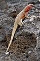 Espanola female lava lizard.jpg